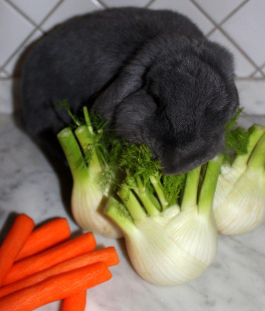 Fluffy grey bunny eating a fennel