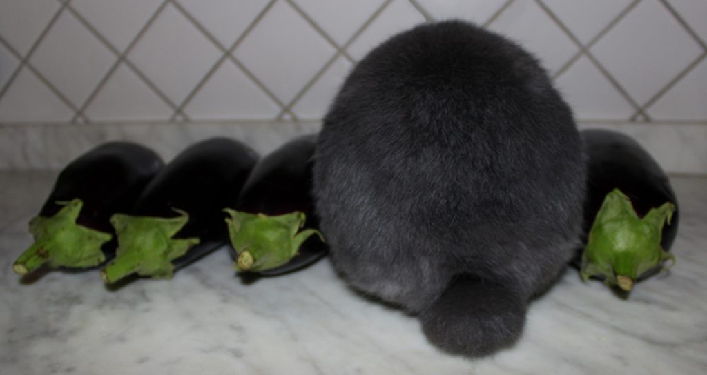 Four eggplants in a line and a fluffy bunny's bottom in between them