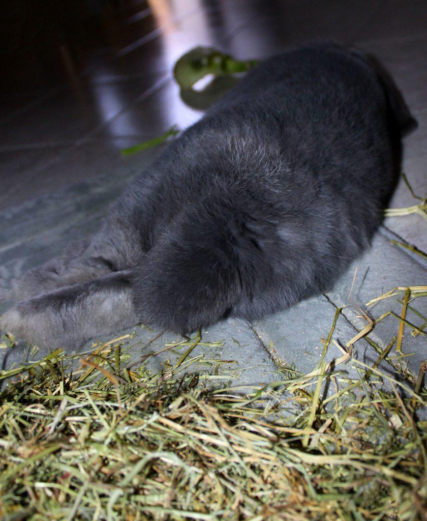 Grey bunny with a fluffy butt sleeping