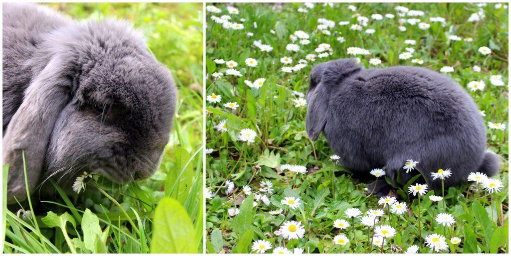 Grey bunny in garden