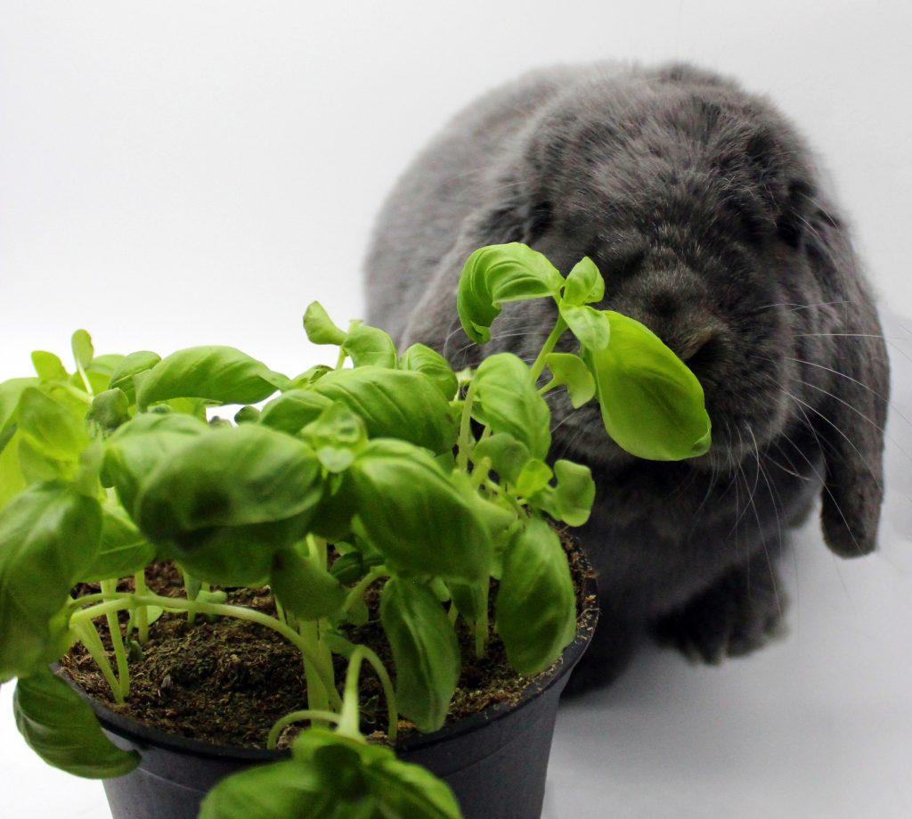 Grey bunny sniffing fresh basil