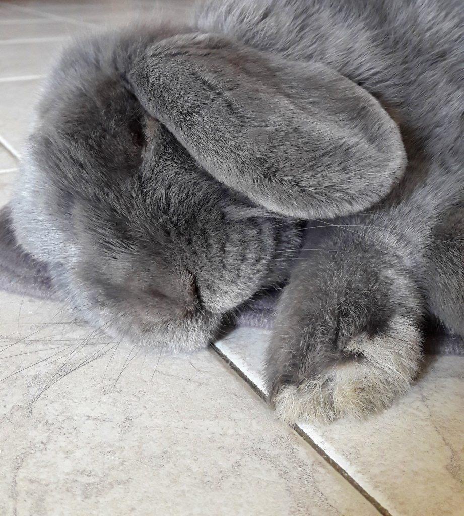 Face of a fluffy grey bunny sleeping