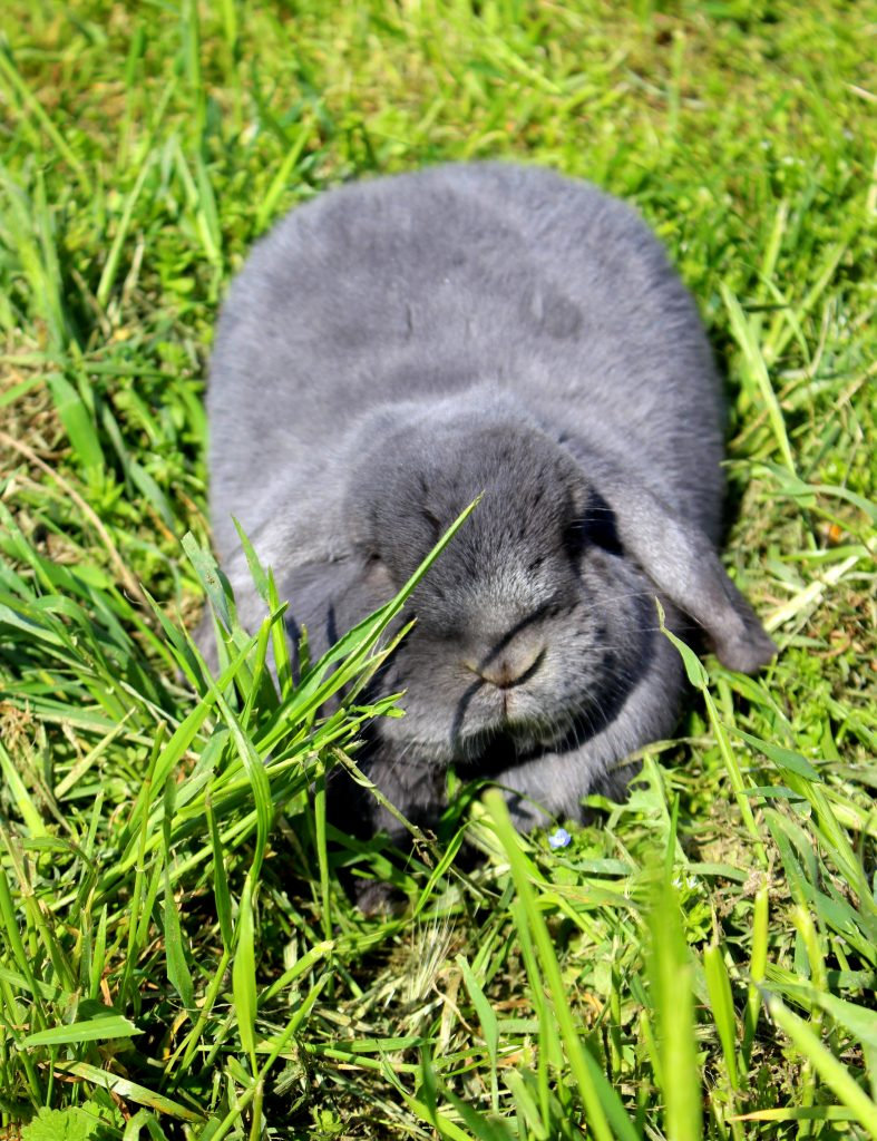 Cute fluffy grey bunny sunbathing in the grass