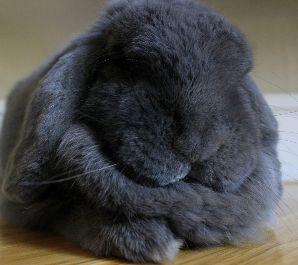 Chubby grey bunny with doublechin