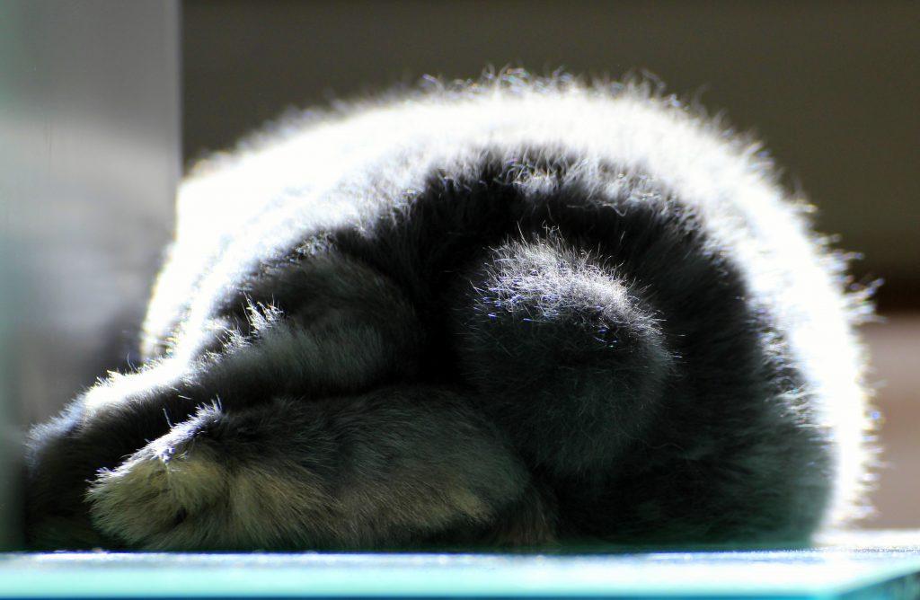 Fluffy bottom of a grey bunny