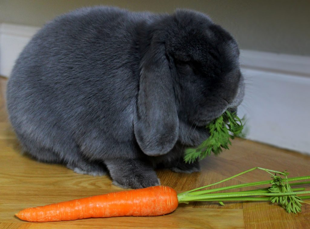 Grey bunny eating carrot greens