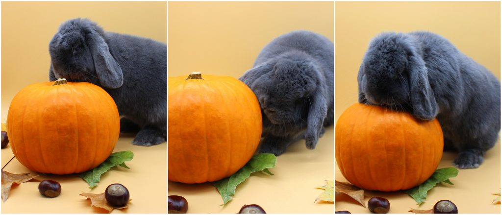 Grey bunny and a pumpkin