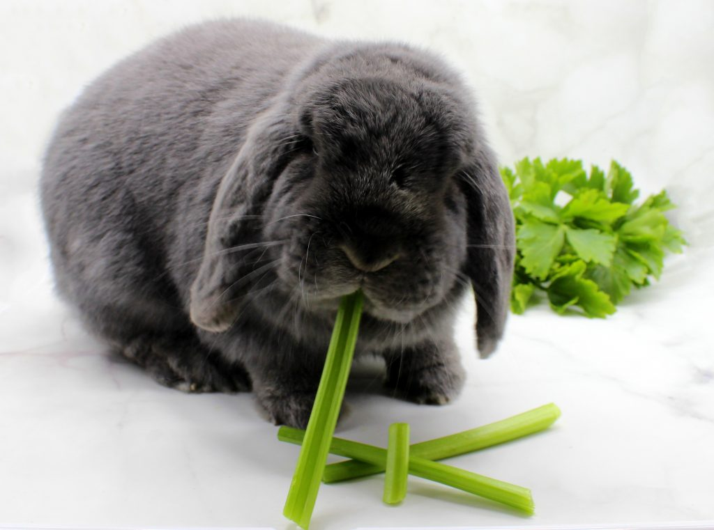 Grey bunny eating celery