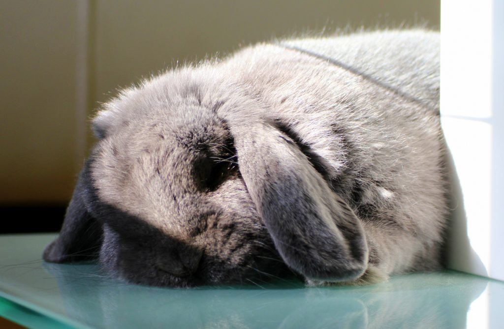 Fluffy grey bunny sleeping