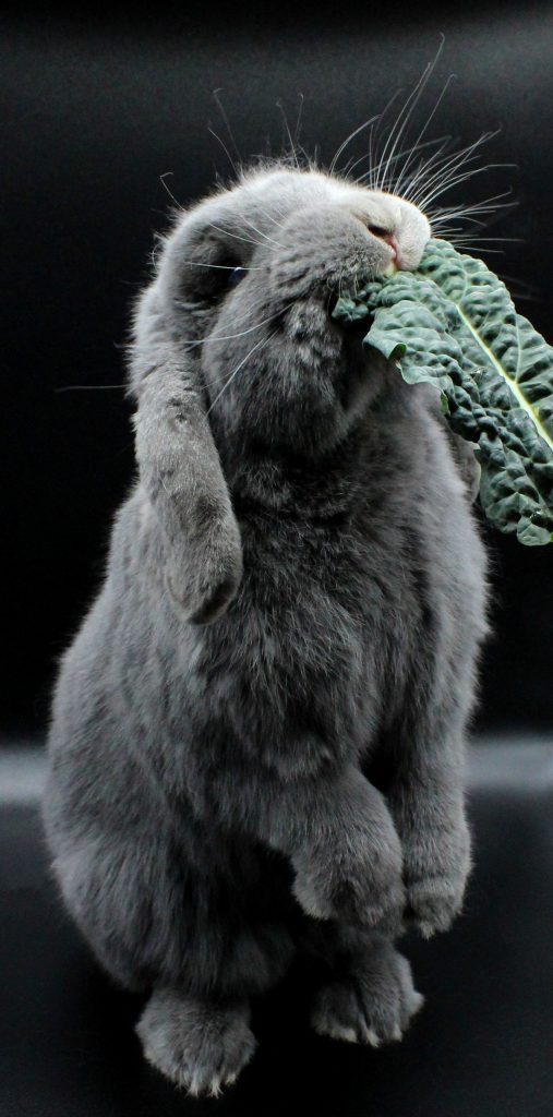 Grey bunny eating cavolo nero
