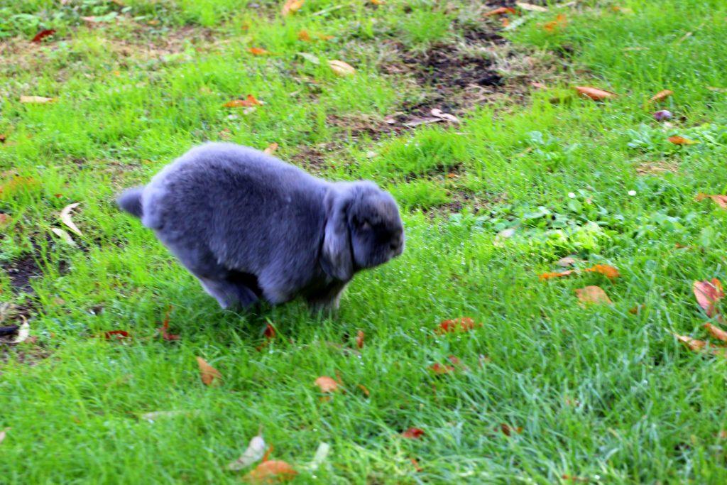 Grey bunny running in a park