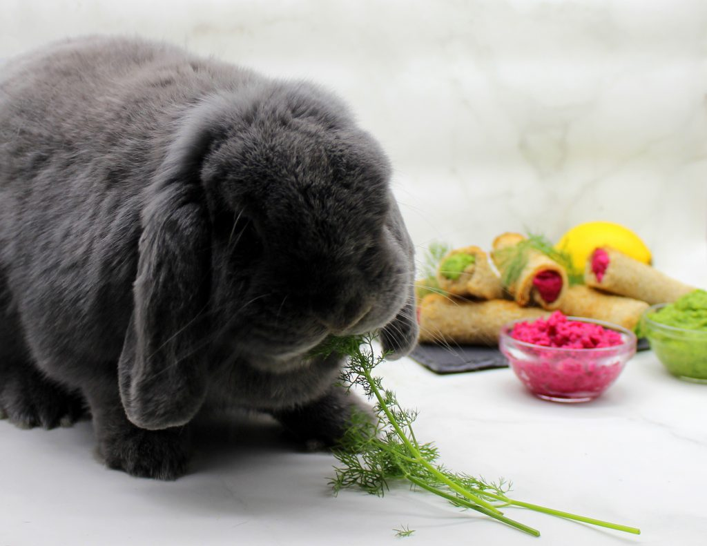 Grey bunny eating dill