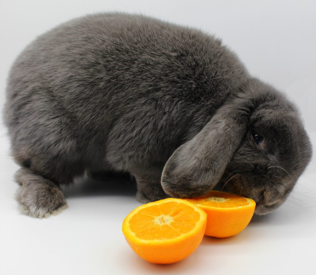 Grey bunny eating orange