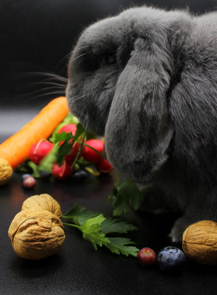 Grey bunny eating parsley