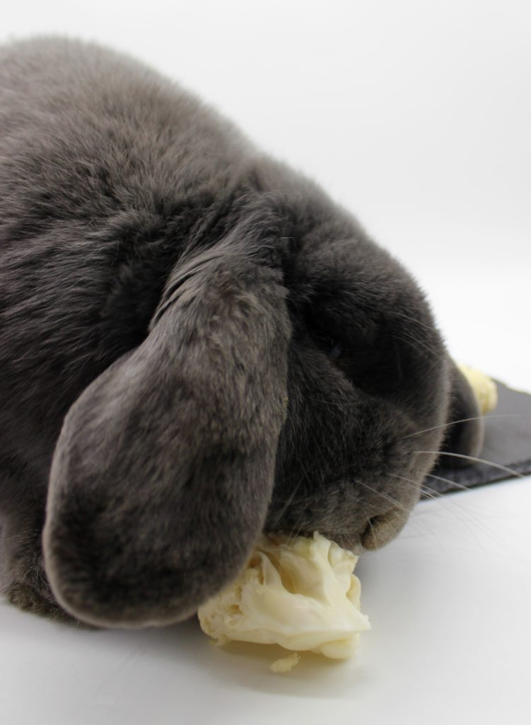 Bunny eating a piece of cauliflower