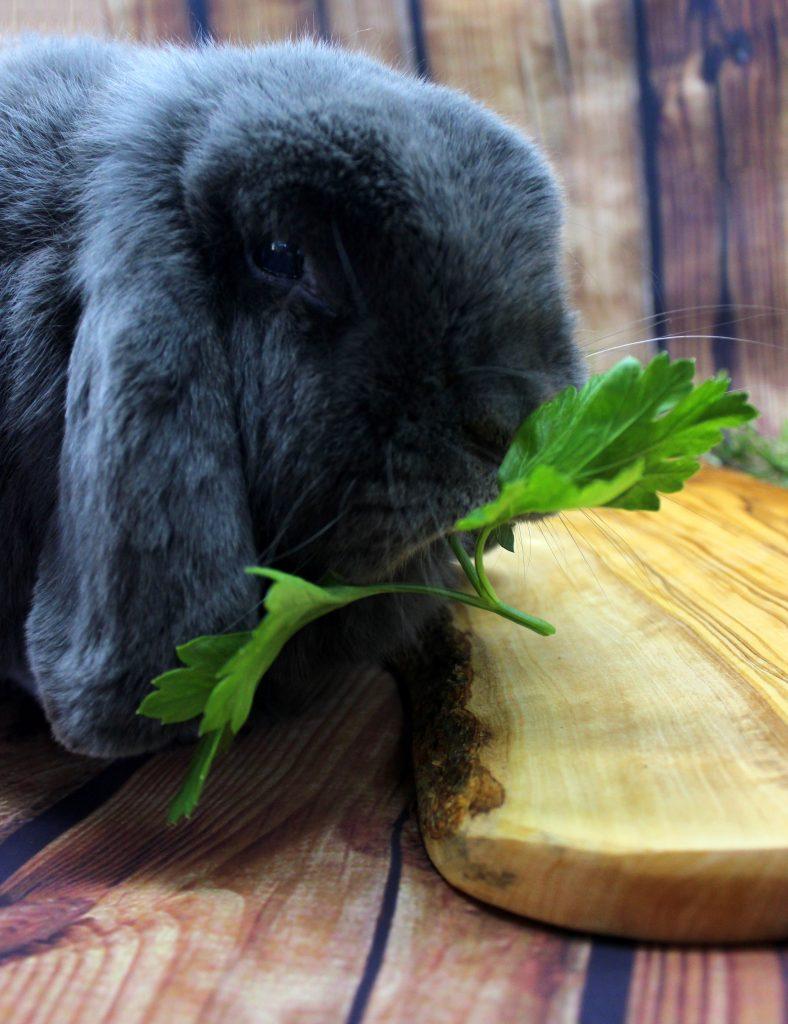 Cute bunny eating parsley