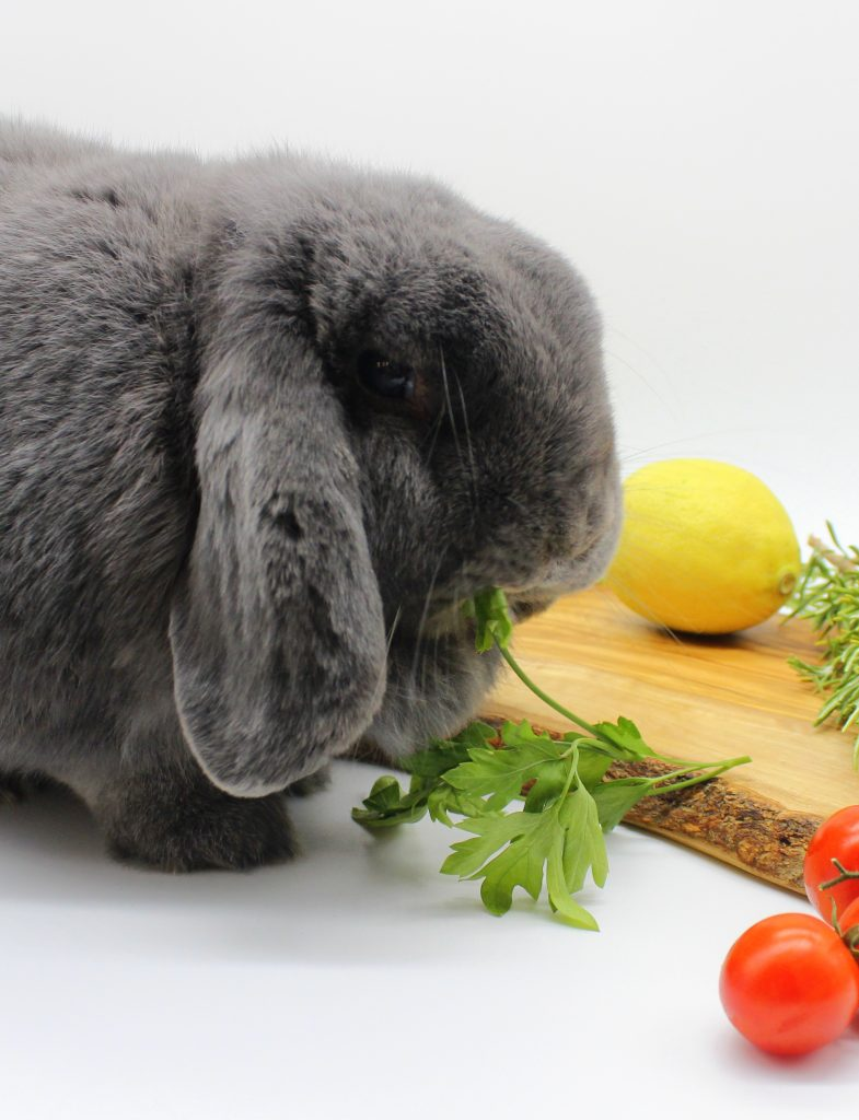 Bunny eating parsley