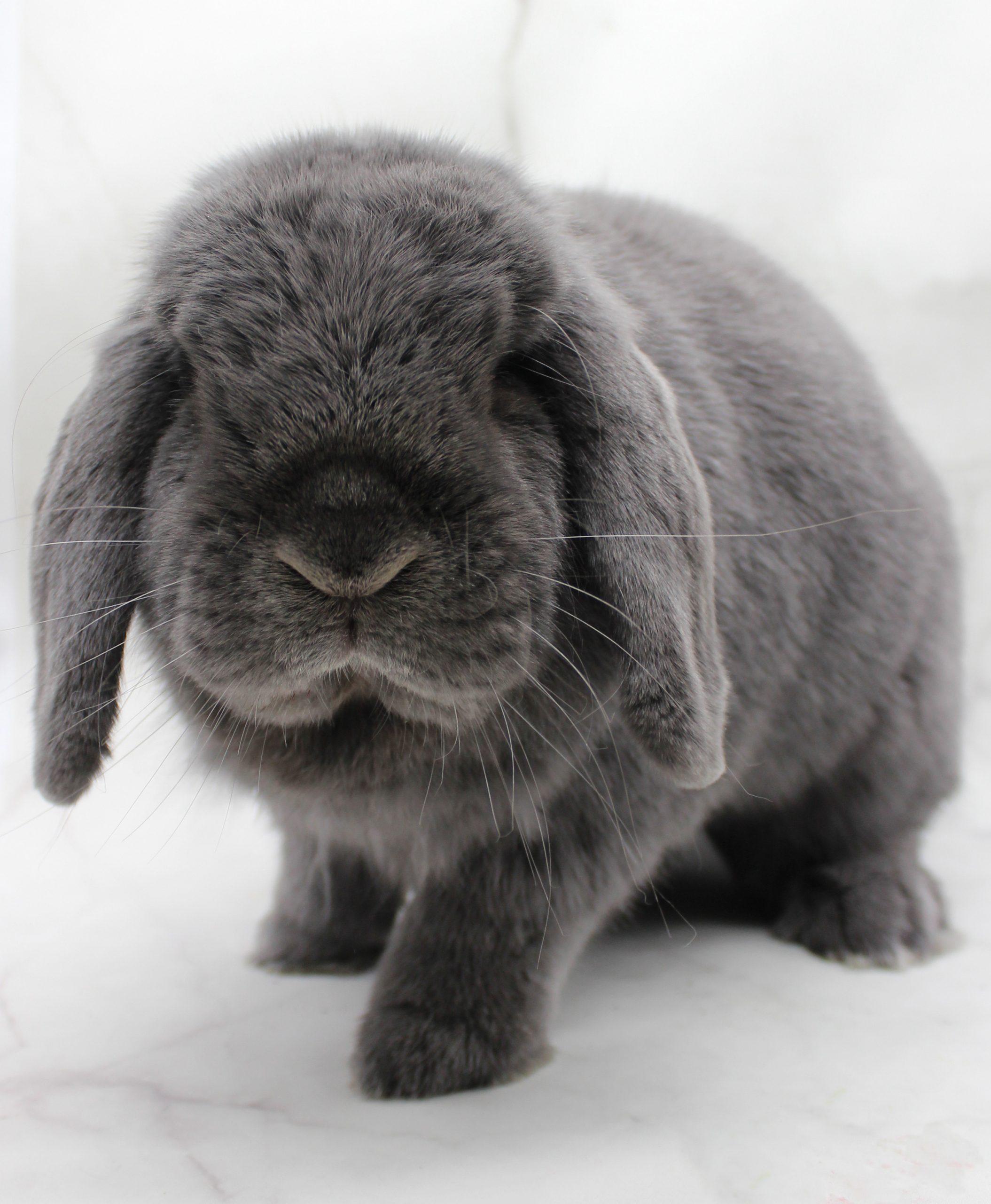 Grey fluffy bunny