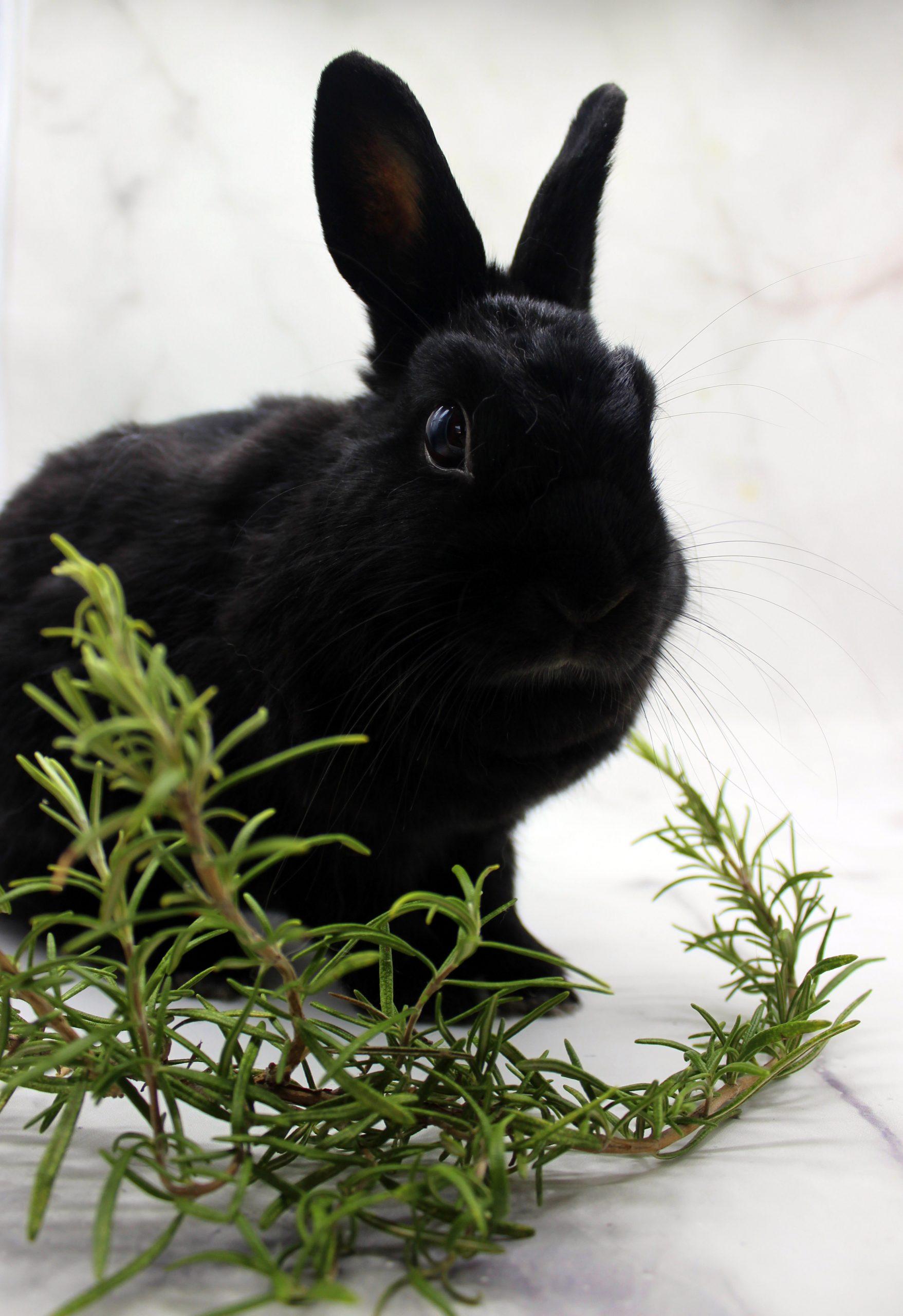 Piccola coniglietta nera