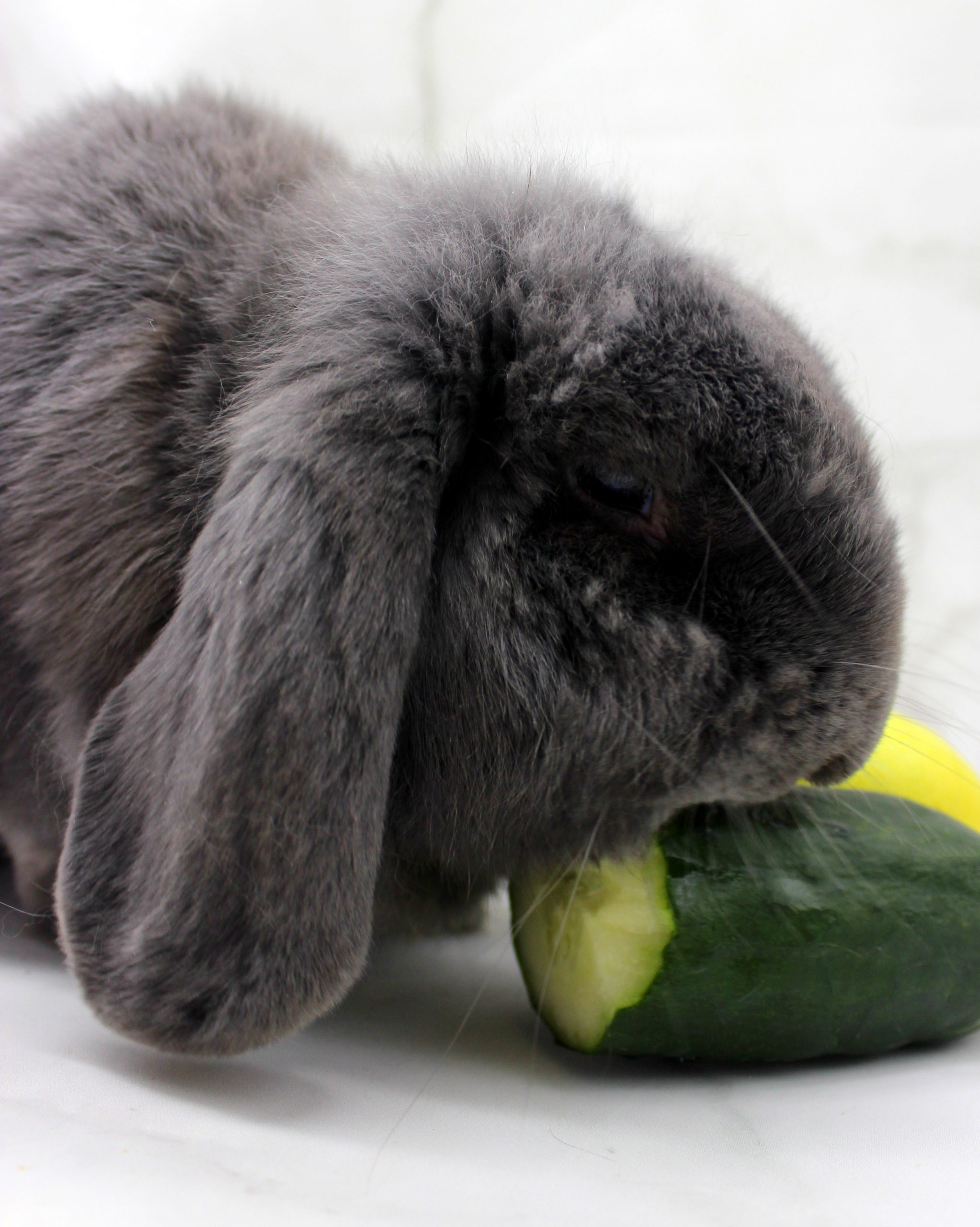 Cute bunny eating a cucumber