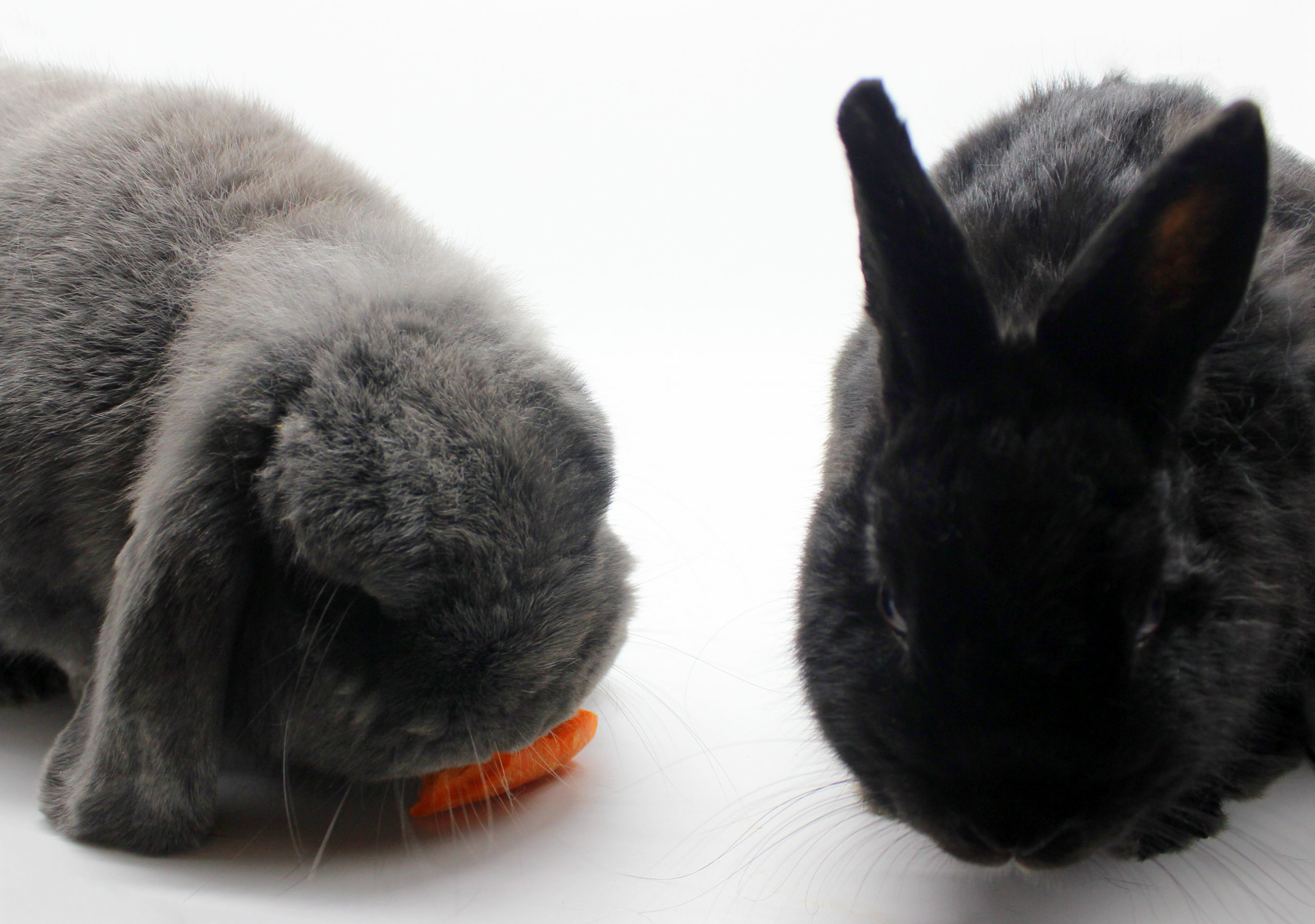 Two cute bunnies and a carrot